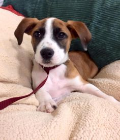 Baby Spanky up for adoption in Jeffersonville, IN