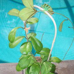 Hoya 'Viola' Cutting [SRQ 3153] - $16.00 : Buy Hoya Plants Online in Many Species from SRQ Hoyas Today!
