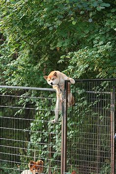 "Hilarious Shiba ""Doge"" Inu Getting Stuck Everyday"