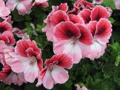 Cómo podar geranios - http://www.jardineriaon.com/como-podar-geranios.html #plantas