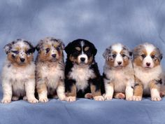 Australian Shepherds.....now here's a room full of trouble!  The Australian shepherd, or Aussie, is a breed of herding dog that was developed on ranches in the western United States. Despite its name, the breed, commonly known as an Aussie, was not developed in Australia and is American.