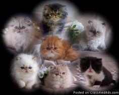 Persian & Himalayan Kittens