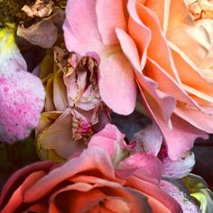 Detail of rose in my garden. Wednesday 27th June 2012. By Nick Knight