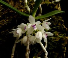 dimorphorchis rohanii | Tuberolabium woodii presented by Orchids Limited