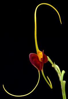 Masdevallia lata orchid