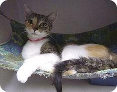 Zanesville, OH - Calico. Meet 38570 Mallory (mitten pawed), a cat for adoption. http://www.adoptapet.com/pet/11087175-zanesville-ohio-cat