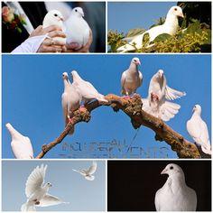 Porumbei nunta Constanta - porumbei voiajori nunta - inchiriere porumbei albi Constanta - 0728955745