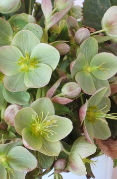 Hellebores :: they're beautiful, refined, long-lasting, frost-resistant and low-maintenance. They're eager to bloom, sometimes appearing when the snow's still on the ground. They come back every year, thrive in the shade and deer hate them. What's not to love?                    In my front shade garden