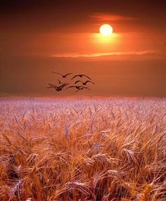 Wheat filled sunset