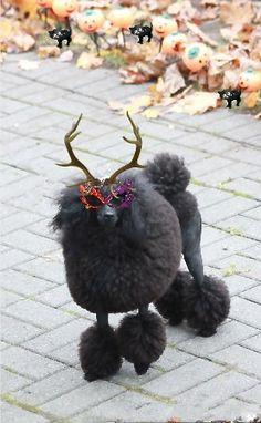 'Deer' Lily is celebrating #Halloween - #Poodles