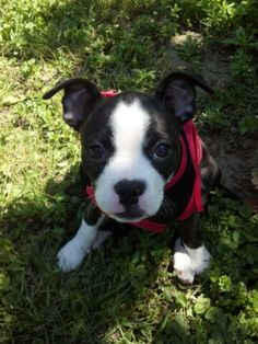 Chihuahua boston terrier mix personality