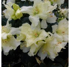Thank you for taking a look at one of our several hundred Hybrid Rhododendrons we have for sale on Etsy and our website! At RhododendronsDirect.com, all we do is Rhododendrons!     Product Description      Bloom Color:  Yellow    Bloom Season:       Early Mid Season    Plant Height(potential in 10 years): 2 feet    Hardy to: -15 F        Container Size/Age:  Two Gallon Plant -  These rhododendrons are typically rooting into a two gallon container or have spent one year as a field grown…