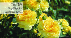 Ten top tips for growing roses by David Austin Roses Australia #yellow #rose #aboutthegarden
