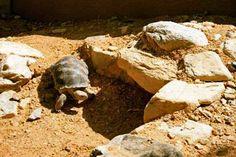 Desert Tortoise burrow.