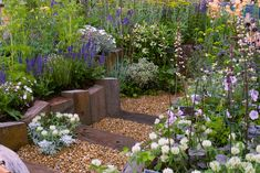 RHS Chelsea Flower Show 2014 - Daisy Roots has a garden filled with drought-tolerant plants, such as white clover like Trifolium tricocephalum, and Pittosporum tobira behind.