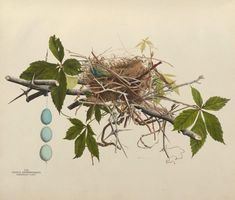 https://flic.kr/p/ae7cuT | n66_w1150 | Illustrations of the nests and eggs of birds of Ohio. v.1. Circleville, Ohio, U.S.A. :[s.n.],1886 biodiversitylibrary.org/page/34907553