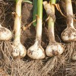 How to Plant and Harvest Garlic in Your Garden