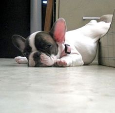 So cute look how the French bulldog sleep♋️