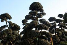 La taille en nuage, secret des Jardins Zen   Petit Paysagiste