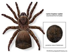 The ravine trapdoor spider is the common name of a rare, oddly shaped North American spider, Cyclocosmia truncata, belonging to the trapdoor spider family Ctenizidae. The ravine trapdoor spider is a burrowing spider, inhabiting sloping riverbanks and ravines in Georgia, Alabama, and Tennessee. The female reaches a body length of 1.2 inches (3 centimeters)