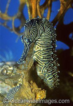 Low-Crowned seahorse