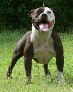 Love that Staffy smile