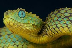 Image result for bush viper tattoo