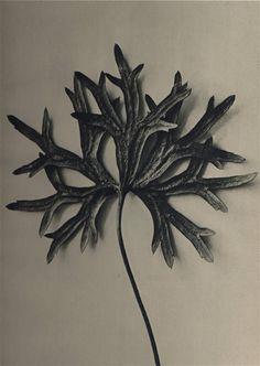 Monkswood by Karl Blossfeldt. 1928.
