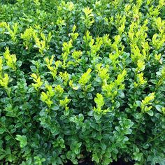 Buy common box Buxus sempervirens: £9.59 Delivery by Crocus