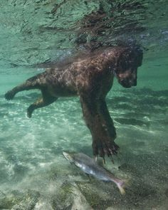 "Fishing Grizzly Bear.  ""USA, Alaska, Katmai National Park, Underwater view of Grizzly Bear (Ursus arctos) swimming after spawning salmon in Kuliak Bay on summer evening""  by Paul Souders."