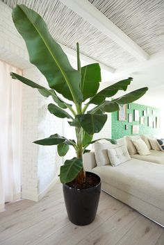 Banana Plant Houseplant – Taking Care Of A Banana Tree Inside Big Indoor Plants, Indoor Trees, Big Plants, Green Plants, Tropical Plants, Indoor Garden, Home And Garden, Big House Plants, Banana Plant Indoor
