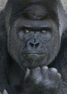 His name is Shabani, a popular gorilla as a good-looking guy. Higashiyama Zoo,Nagoya,Japan