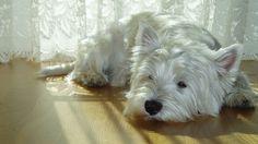 Animaux - West Highland White Terrier - Chien - Chiot - Mignon - Westi - Scottish - Terrier Fond d'écran