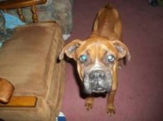 Hope is an adoptable Boxer Dog in Wilmington, NC. Carolina Boxer Rescue is a volunteer run, 501(c)3 non-profit organization serving North and South Carolina. Our Boxers come to us from shelters, human...