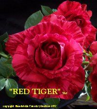 Amazing Flowers, Beautiful Roses, Serenity Garden, Tiger Stripes, Orchids, Australia, Plants, Red, Wedding
