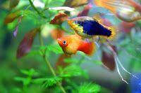 Platka ryba akwariowa ładna i niekłopotliwa