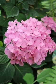 Pink Hydrangeas are blooming this week.