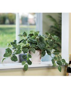Fittonia Silk Plant GREEN