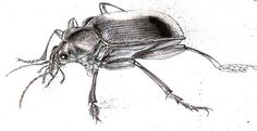The Common Black Ground Beetle: An important player on the beneficial insect team | From Organic Gardening