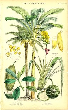 Antique print: picture of Plants used as food (a few small marks on paper edge) - Date Palm, Banana Palm, Jack Fruit, Pandanus