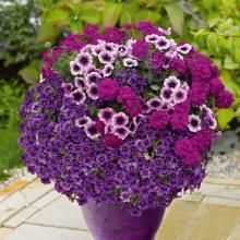 Balkonpflanzenmix 'Trio Confetti Garden Purple Cleopatra' 2er Set