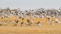Snow Geese Blasting Off by Raymond Lee on 500px. Murray Marsh, Sturgeon County, AB, Canada