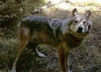 Washington's wolves — Conservation Northwest