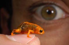 Uma nova pesquisa descreveu oito novas espécies de #sapo no Sul do país. Os bichos do gênero Brachycephalus surpreendem pelo tamanho: chegam a medir menos de um centímetro. Foto Zig Koch.
