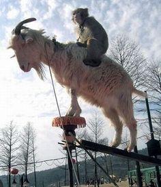 monkey riding goat