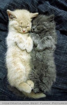 Two fluffy kitties having a snoozie time snuggle