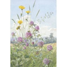 Marjoram and Slender St John's Wort by Margaret Winifred Tarrant Vintage Artwork, Vintage Illustrations, Flower Illustrations, Champs, British Wild Flowers, Cicely Mary Barker, Watercolor And Ink, Art Reproductions, Cat Ears