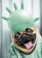 Pug with balloon on head.