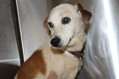 Thelma: 10-year-old beagle/JRT mix available for adoption June 16