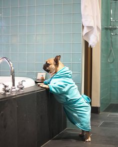 Too busy living the high life! Pampered French Bulldog